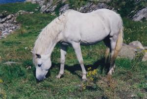 White Horse In Ireland p1
